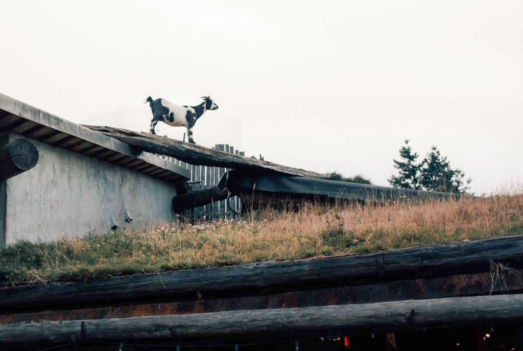 Goats on the roof at Coombs Old Country Market