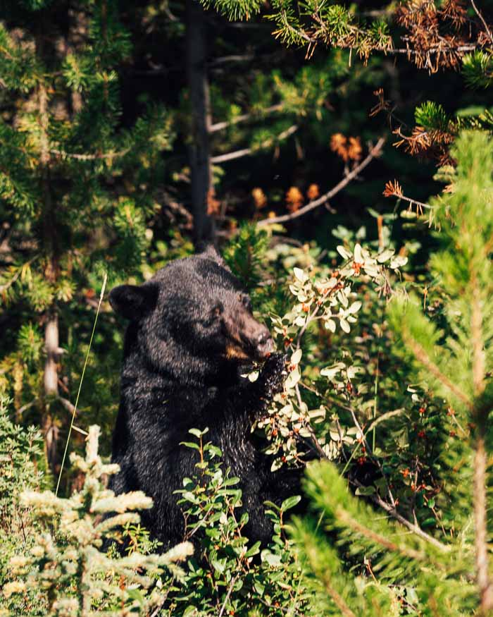 Black Bear along the Icefields Parkway