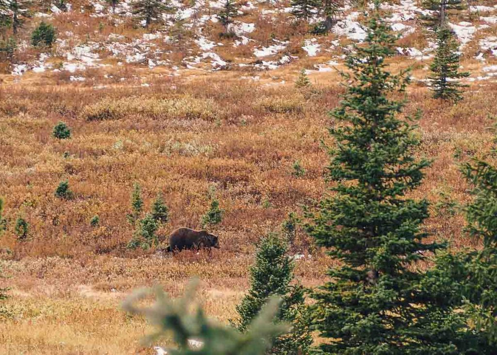 Grizzly Bear along the Icefields Parkway