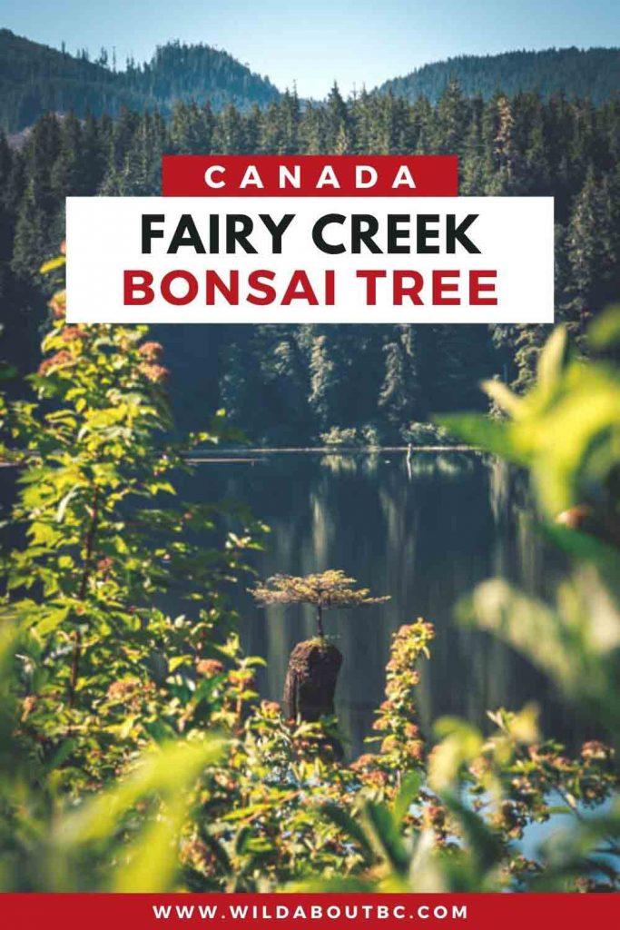 Fairy Creek BC Bonsai Tree