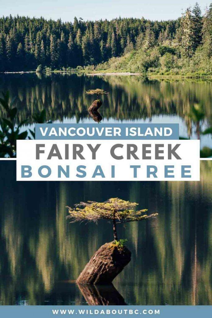 Fairy Creek Bonsai Tree BC